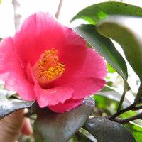 鶴岡高館山の早春の花 7-7 オクチョウジサクラ、ヤブツバキ