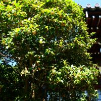 『金木犀』 妙大寺