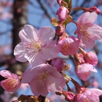 早くも桜が咲いてるよ~(^◇^)
