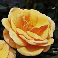 クッパー ケニギン    くすんだオレンジ色の珍しいバラ