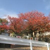 11/15 ∬我が家の周りの犬との散歩道(苦楽園・越木岩)の紅葉∬スーパームーン