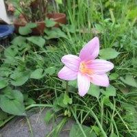 庭の片隅に逞しく咲いているユリやサフランモドキ