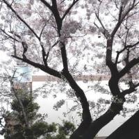 桜見て 手作りパンと 美術展