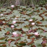 坪井川遊水公園のハスの花