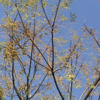 栴檀の裸の木の実多く生り