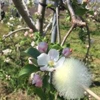 りんご人工受粉