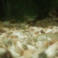 ミナミヌマエビ抱卵&孵化