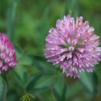 「おはようの花」 アカツメクサ(赤詰草) 6月