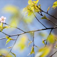 -桜咲く-