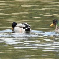 柏の葉公園周辺の野鳥_マガモ(真鴨)