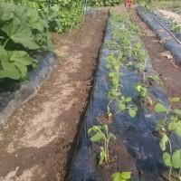 枝豆植えました。