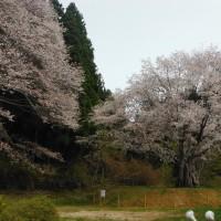上君田 今朝の宮澤桜。