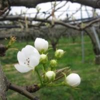 新高梨は開花