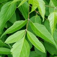 樹木ウォッチング冬から夏へ171ネグンドカエデ3