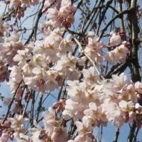 大光寺の枝垂れ桜