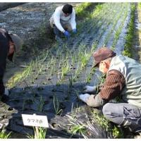 エンドウ豆のネット張りと玉葱の手入れ