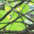 今週の鳥-20170716