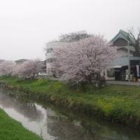 桜燕日記 Apr. 9, 2017
