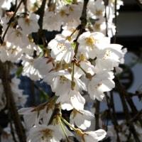 圓立寺のしだれ桜~散り果て行く美