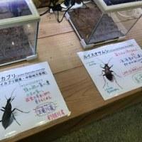 展示ケース。~またまた昆虫公園~