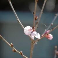 紅吉野桜 開花3.22
