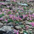 五竜、八方、大雪渓の花