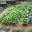 11月28日 冬野菜の生育は