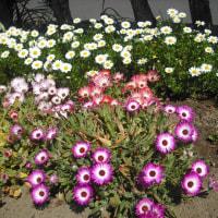 繊細です リビングストンデージーの花