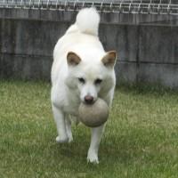 お庭でボールを一生懸命に運ぶ、愛ちゃん♪