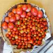 豊作のトマトを収穫。