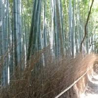 1177 「嵯峨野の竹林」