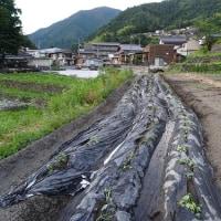 小学生「棚田」でサツマイモ植えをされていました。