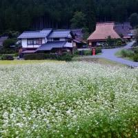 美山町 茅葺の里 (蕎麦の花)