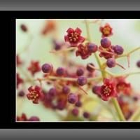 チャンチンモドキの雄花