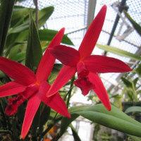 カトレア C.Kagaribi Dawn 'Red Star' BM/JOGA