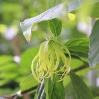 しばらくぶりに訪れた東京都薬用植物園 (7)イヌサフラン、カイソウ、マユハケオモト、イランイラン、ドラゴンフルーツ、ウツボカズラ