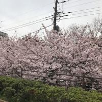 満開の桜と、悲しみ