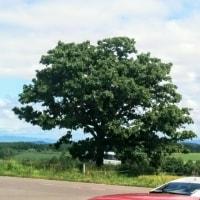 [美瑛]セブスターの木を見に行きました。