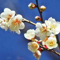 小石川後楽園・早咲きの梅を撮る