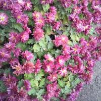 いろいろな顔の菊の花💠(๑'ᴗ'๑)/🎶