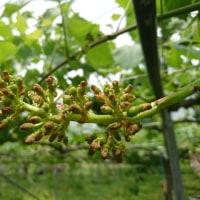 葡萄のジベレリン