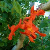 家の挿し木のアメリカノウゼンカズラ