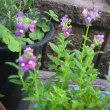 我が家の花達7月