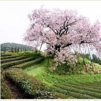 納戸料百年桜