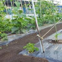 2回目の胡瓜植えました。