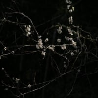 松平郷はまだ遅咲きの梅が咲いている