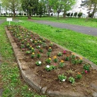 「人権の花」運動 贈呈式・花植を行いました