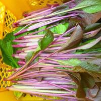 紫の小松菜さんが 元気!元気!と 梅雨入り畑 (菜人)
