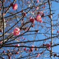 梅光園緑道の梅