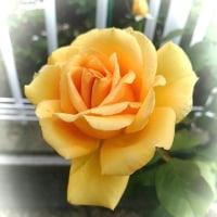 美味しそうな薔薇